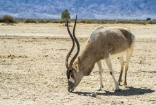 Free Antelope In Nature Reserve Royalty Free Stock Images - 30743219