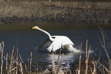 Free Whooper Swan Taking Off Stock Photo - 30748080