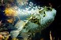 Free Blow Fish - Tetraodontidae Royalty Free Stock Image - 30756146