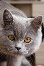 Free Portrait Of A Cat Stock Photos - 30757553