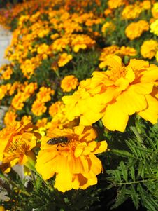 Beautiful Flower Of Tagetes Stock Photo