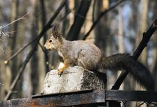 Free Squirrel. Royalty Free Stock Photography - 30752107