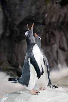 Free Gentoo Penguin - Pygoscelis Papua Royalty Free Stock Photography - 30756227