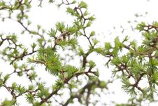 Free Larch Background Stock Photo - 30759700