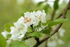 Free Blossom Of Appletree Royalty Free Stock Photos - 30759818