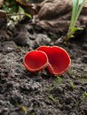 Free Red Fungus Royalty Free Stock Photo - 30767415