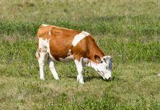 Free Hungarian Cow Stock Photos - 30760863