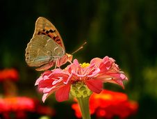 Free Butterfly On A Flower Royalty Free Stock Images - 30762529