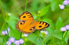 Free Peacock Pansy Butterfly Royalty Free Stock Image - 30763736