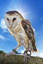 Free Owl Royalty Free Stock Photography - 30772907