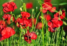 Free Red Poppy Flower Stock Photos - 30770843