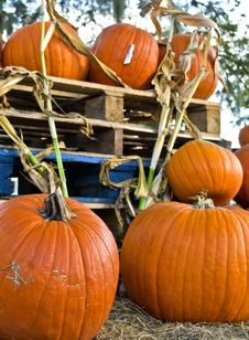 Free Pumpkins Stock Photo - 30772620