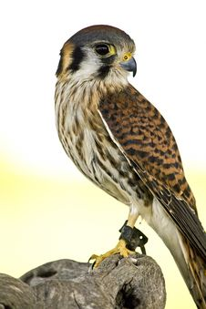 Free American Kestrel Royalty Free Stock Images - 30772649