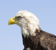 Free Bald Eagle Royalty Free Stock Images - 30772699