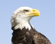 Free American Bald Eagle Royalty Free Stock Photo - 30772715