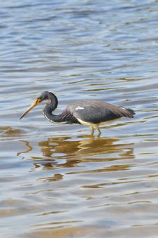 Blue Heron Royalty Free Stock Images