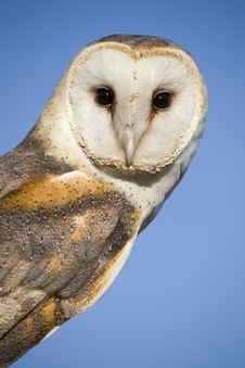 Free Owl Royalty Free Stock Images - 30772909