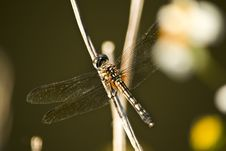 Free Dragonfly Royalty Free Stock Photo - 30772935