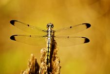Free Dragonfly Royalty Free Stock Photography - 30772937