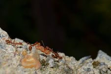 Free Team Work - Weaver Ants Stock Photos - 30778493