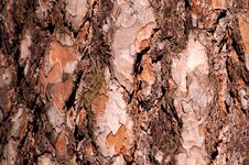Free Pine Tree Bark Royalty Free Stock Photo - 30778805