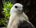 Free Focus On The Face Of A White Eagles Head Royalty Free Stock Photos - 30785008
