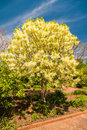 Free White, Fleecy Blooms  Hang On The Branches Of Fringe Tree Stock Photos - 30787823