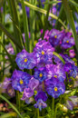 Free Violet Beautiful Pansy Flowering In Spring Time Royalty Free Stock Images - 30788389