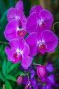 Free Beautiful Purple Orchid - Phalaenopsis Royalty Free Stock Photo - 30788595