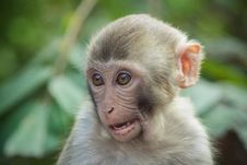 Free Doubting Macaque Royalty Free Stock Images - 30781169