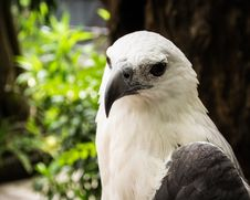 Free Focus On The Face Of A White Eagles Head Stock Images - 30785094