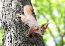 Free Squirrel On The Tree Stock Image - 30786081