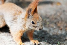 Free Portrait Of Squirrel Stock Images - 30786104