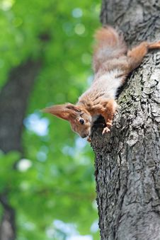 Free Squirrel Down From The Tree Stock Image - 30786151