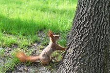 Free Squirrel Front Of The Tree Stock Photography - 30786222