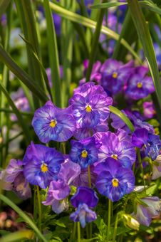 Violet Beautiful Pansy Flowering In Spring Time Royalty Free Stock Images