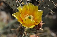 Free Prickly Pear Yellow Bloom Stock Image - 30789131