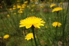 Free Dandelion Close-up In Long Grass Stock Image - 30789481