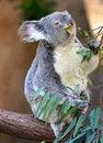 Free Koala Royalty Free Stock Photo - 30793535
