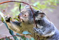 Free Koala Stock Image - 30793631