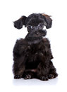 Free Small Black Puppy On A White Background. Stock Image - 30799761
