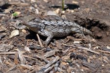 Scaly Lizard Stock Images