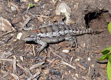 Scaly Lizard Royalty Free Stock Images