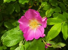 The Dog Rose Stock Images