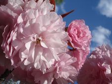 Free Delicate Pink Sakura Blossoms Royalty Free Stock Images - 30793079