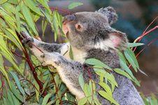 Free Koala Stock Photos - 30793653