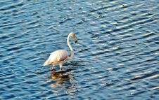 Free Flamingo Royalty Free Stock Photo - 30796475