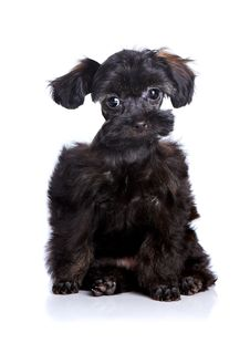 Small Black Puppy On A White Background. Stock Image