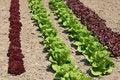 Free Lettuce Varieties Royalty Free Stock Photos - 3087428