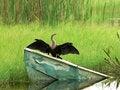 Free Bird - Anhinga Or Snake Bird Royalty Free Stock Photo - 3087535